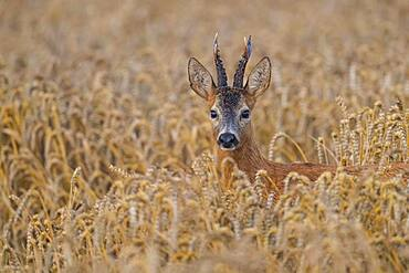 01_ buck in foliage, 01_ (Capreolus capreolus) in cereals, male, Oldenburger Muensterland, Vechta, Lower Saxony, Germany, Europe
