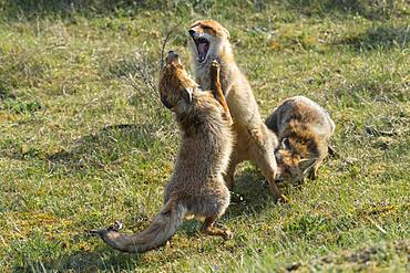 Red fox (Vulpes vulpes) fighting, Netherlands