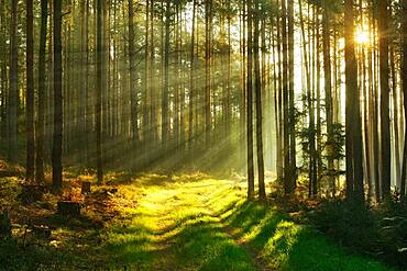 Forest path through pine forest in the morning light, sun shines through fog, near Paulinzella, Thuringia, Germany, Europe