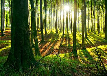 Sunny natural beech forest, sun shines through haze after rain showers, Stubnitz, Jasmund National Park, UNESCO World Heritage Old Beech Forests, Island of Ruegen, Mecklenburg-Western Pomerania, Germany, Europe