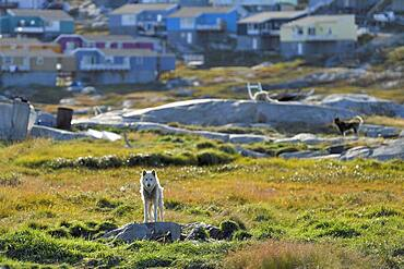 Greenland dog standing on a rocky plateau, behind wooden houses of the town, Ilulissat, West Greenland, Greenland, North America