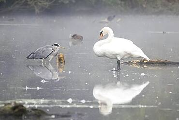 Grey Heron (Ardea cinerea) and Mute Swan (Cygnus olor) standing in water, foggy atmosphere, Hesse, Germany, Europe