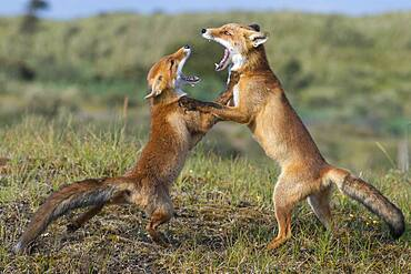 Two Red foxes (Vulpes vulpes) fighting with open mouth, playful, Netherlands