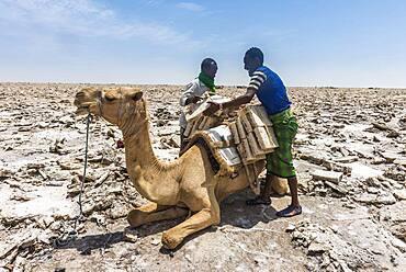 Afar nomads loading dromedary with salt plates from dry salt lake, near Dallol, Danakil Depression, Afar Region, Ethiopia, Africa