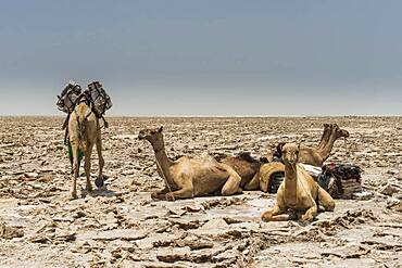 Dromedaries lie in dry salt lake, are loaded with salt plates, near Dallol, Danakil depression, Afar region, Ethiopia, Africa
