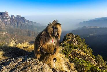 Male Gelada baboon (Theropithecus gelada) or sitting on a cliff in the Unesco World Heritage Site Simien Mountains National Park, Debarq, Ethiopia, Africa