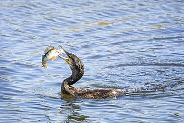 Great cormorant ( Phalacrocorax carbo) with captured European perch ( Perca fluviatilis) Hesse, Germany, Europe
