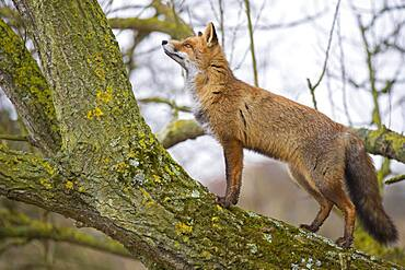Red fox ( Vulpes vulpes) climbs into a tree, hunting, Netherlands