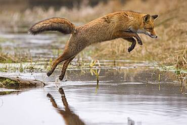 Red fox ( Vulpes vulpes) , Winter coat jumps over a stream, Netherlands