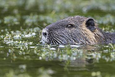 Nutria ( Myocastor coypus) in a body of water, portrait, Lower Saxony, Germany, Europe