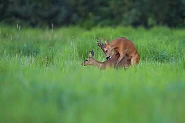 European roe deerbock ( Capreolus capreolus) fogging a doe, Mating, Leaf time, Oldenburger Muensterland, Vechta, Lower Saxony, Germany, Europe