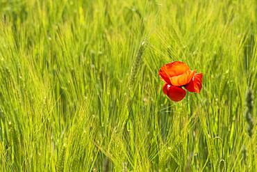 Blooming red poppy (Papaver) in a barley field, Upper Bavaria, Bavaria, Munich, Germany, Europe
