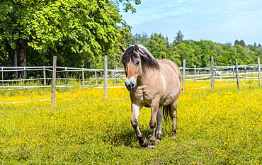 Light brown horse with black and white mane in a paddock, yellow flower meadow, Upper Bavaria, Bavaria, Germany, Europe