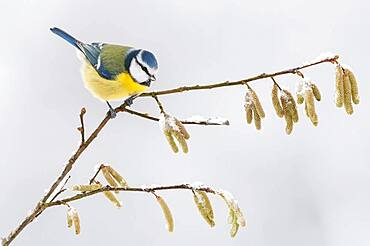 Blue Tit ( Cyanistes caeruleus) on a branch with hazelnut catkins, winter, Lower Saxony, Germany, Europe