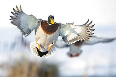 Flying Mallard ( Anas platyrhynchos) in winter, drake, male, Lower Saxony, Germany, Europe