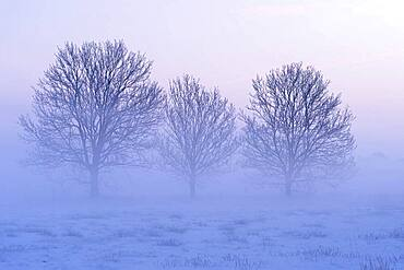 Three bare trees in a misty winter landscape, Lower Saxony, Germany, Europe