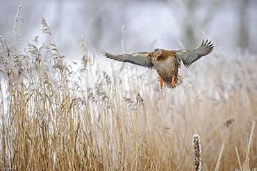 Mallard ( Anas platyrhynchos) female in winter, flying over reeds with hoarfrost, Lower Saxony, Germany, Europe