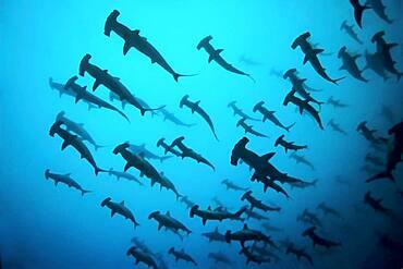 Fish school, shoal Scalloped Hammerheads ( Sphyrna lewini) in turbid water, thermocline, off Darwin Island, Pacific Ocean, Galapagos Archipelago, Ecuador, South America