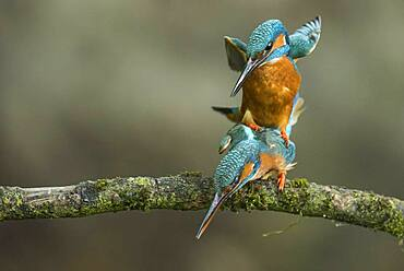 Common kingfisher ( Alcedo atthis) during mating at Ansitzwarte, Fortplatzung, Netherlands