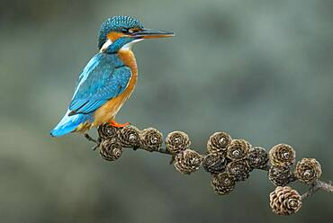 Common kingfisher ( Alcedo atthis) on Ansitzwarte, Netherlands