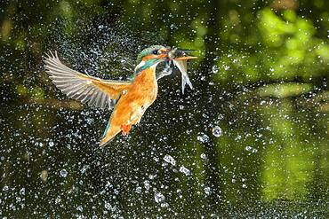 Busted Common kingfisher ( Alcedo atthis) with captured fish, hunting, Netherlands