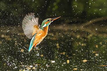 Busted Common kingfisher ( Alcedo atthis) for prey strike, hunting, Netherlands