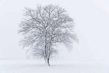 Snowy oak tree in a misty winter landscape, Lower Saxony, Germany, Europe