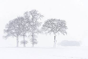 Snow-covered oak trees in a misty winter landscape, Lower Saxony, Germany, Europe