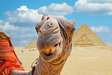 Camel in front of the pyramids of Giza, Giza, Cairo, Egypt, Africa
