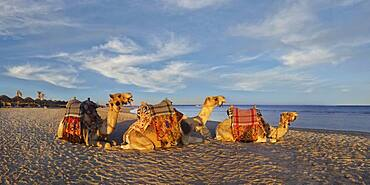 Egyptian camels Dromedaries (Camelus dromedarius) on the beach and coral reef Abu-Dabbab, Hilton Nubian Resort, Al Qusair, Marsa Alam, Egypt, Africa