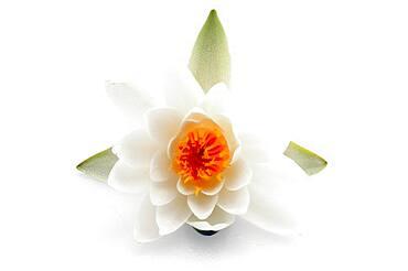 Water lily (Nymphaea hybrid Marliacea rosea), flower, studio recording, Germany, Europe