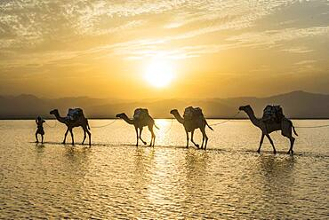 Camels loaded with rock salt plates walk through a salt lake, Danakil depression, Ethiopia, Africa