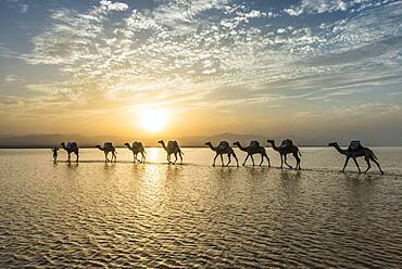 Camels loaded with rock salt plates walk through a salt lake, Danakil depression, Ethiopia, Africa