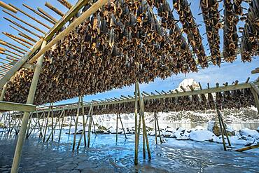 Stockfish on wooden rack, drying rack in winter, Nordland, Lofoten, Norway, Europe