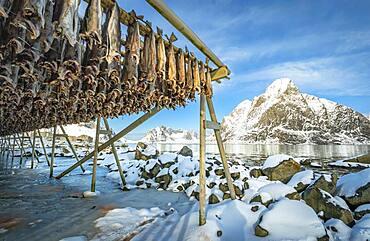 Stockfish on wooden frame, drying rack in winter, behind mountains, Nordland, Lofoten, Norway, Europe