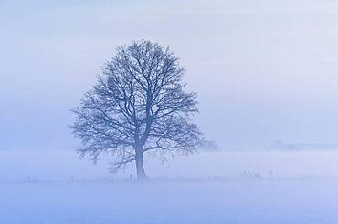 Oak ( Quercus) in foggy, winterly landscape, tree, bare, Vechta, Lower Saxony, Germany, Europe