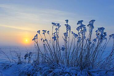 Tansy ( Tanacetum vulgare) in the snow in front of sunset, winter evening, Vechta, Lower Saxony, Germany, Europe