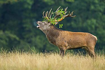 Tube transmitter red deer ( Cervus elaphus) with branch in antlers in the rut, Klamptenborg, Copenhagen, Denmark, Europe