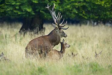 Red deer ( Cervus elaphus) and alto-animal during mating in the rut, Klamptenborg, Copenhagen, Denmark, Europe