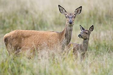 Malamute and calf of red deer ( Cervus elaphus) Portrait, Klamptenborg, Copenhagen, Denmark, Europe