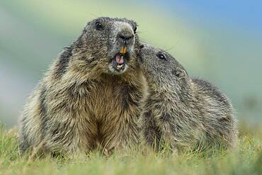 Marmot with young ( Marmot) animal, Alps, Hohe Tauern National Park, Heiligenblut, Carinthia, Austria, Europe