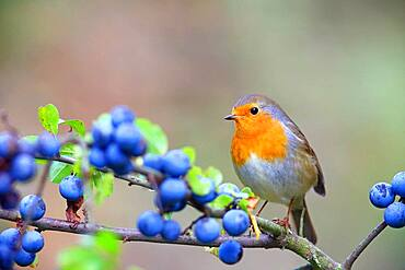 European robin (Erithacus rubecula) sits on a branch (Prunus spinosa) , Solms, Hesse