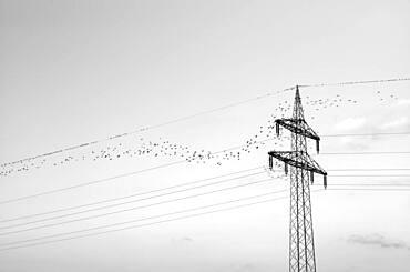 European starlings (Sturnus vulgaris) sitting on overhead line, Stuttgart, Baden-Wuerttemberg, Germany, Europe