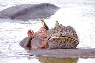 Hippopotamus (Hippopotamus amphibius) relaxing on another hippo, humor, Luangwa River, South Luangwa National Park, Zambia, Africa