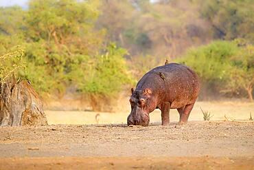 Hippopotamus (Hippopotamus amphibius), Luangwa River, South Luangwa National Park, Zambia, Africa