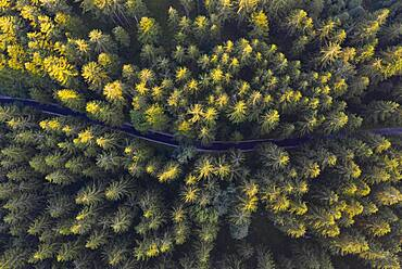 Road through spruce forest from above, drone shot, Mondseeland, Salzkammergut, Upper Austria, Austria, Europe