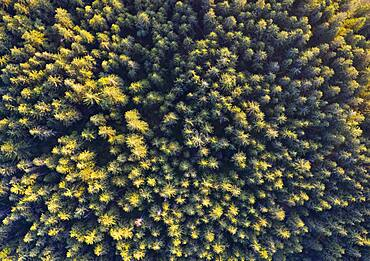 Spruce forest from above, drone photograph, Mondseeland, Salzkammergut, Upper Austria, Austria, Europe