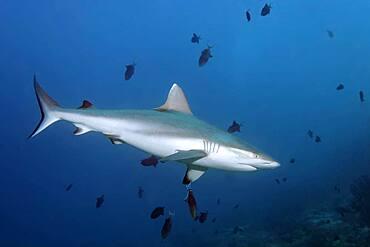 Grey reef shark (Carcharhinus amblyrhynchos) ...swimming in a shoal... Redtoothed triggerfish (Odonus niger) Andaman Sea, Mu Ko Similan National Park, Similan Islands, Phang Nga Province, Thailand, Asia