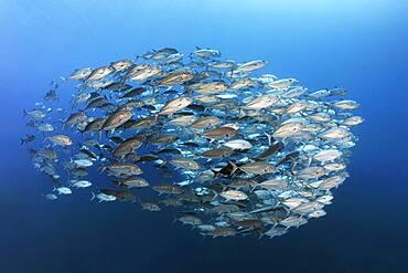 Swarm of spiny mackerel (Caranx sexfasciatus) swimming in the open sea, Andaman Sea, Mu Ko Similan National Park, Similan Islands, Phang Nga Province, Thailand, Asia