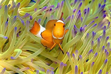 Fake Clownfish , in (Heteractis magnifica), Andaman Sea, Mu Ko Similan National Park, Similan Islands, Phang Nga Province, Thailand, Asia